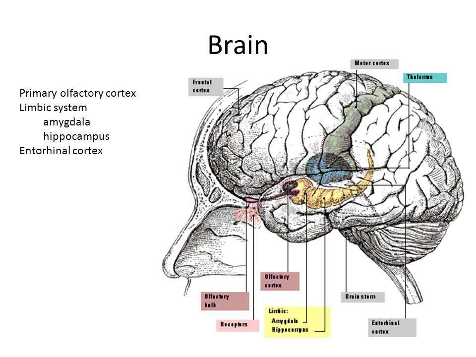 Brain Primary olfactory cortex Limbic system amygdala hippocampus Entorhinal cortex