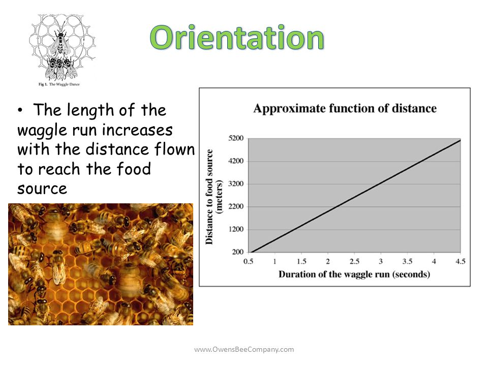 The length of the waggle run increases with the distance flown to reach the food source www.OwensBeeCompany.com