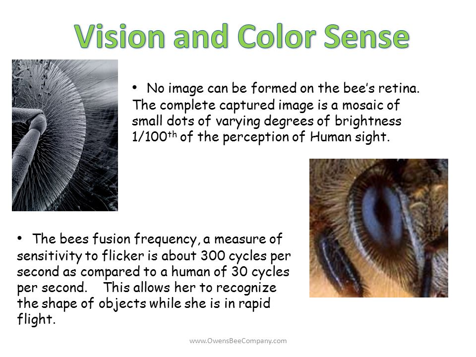 The bees fusion frequency, a measure of sensitivity to flicker is about 300 cycles per second as compared to a human of 30 cycles per second. This all