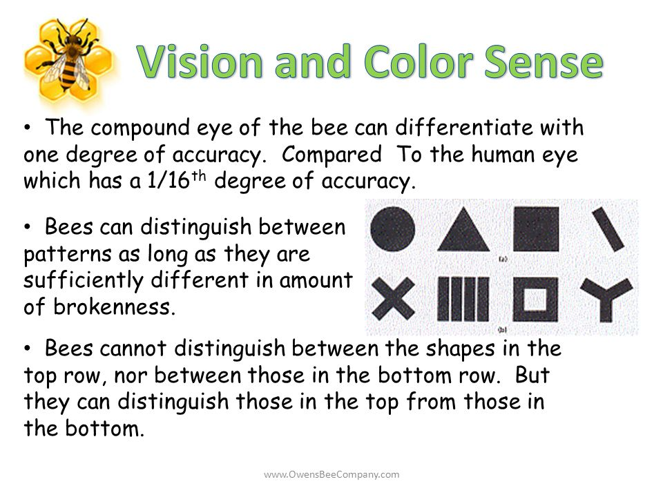 The compound eye of the bee can differentiate with one degree of accuracy. Compared To the human eye which has a 1/16 th degree of accuracy. Bees can