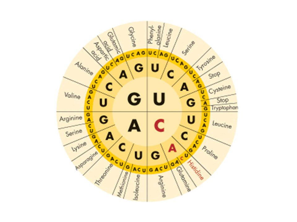  Starts with AUG  Has three stop codons.