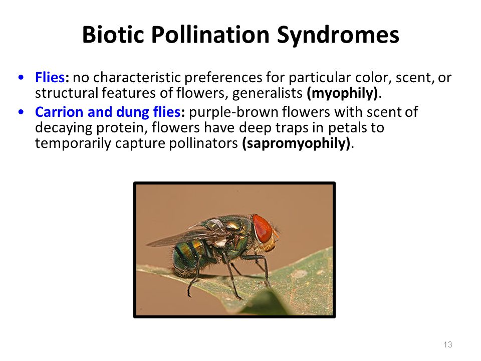 Biotic Pollination Syndromes Flies: no characteristic preferences for particular color, scent, or structural features of flowers, generalists (myophil