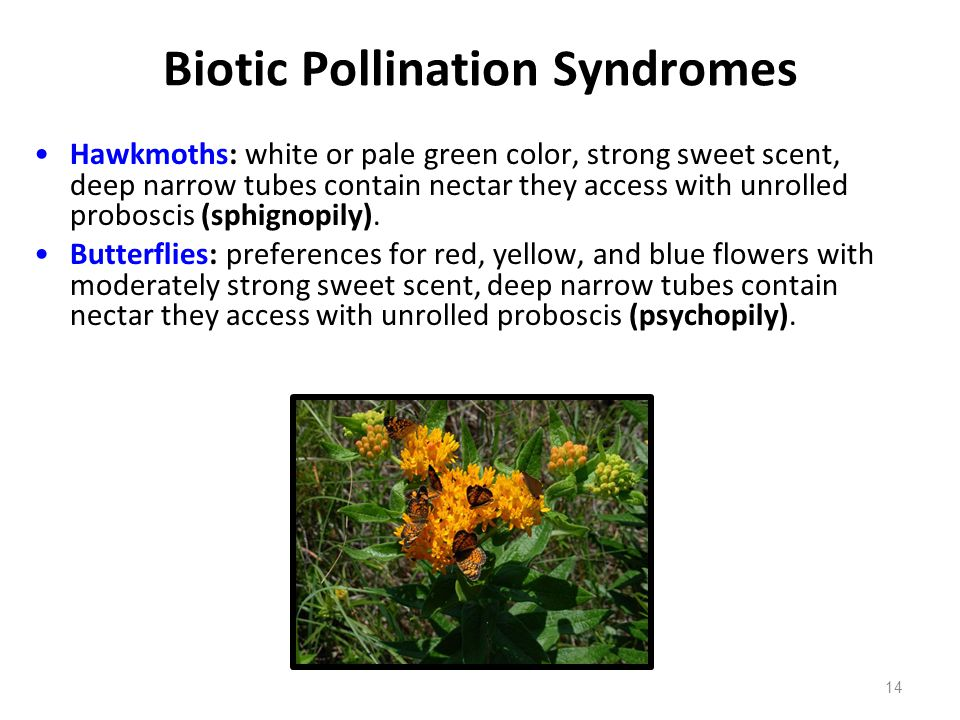 Biotic Pollination Syndromes Hawkmoths: white or pale green color, strong sweet scent, deep narrow tubes contain nectar they access with unrolled prob
