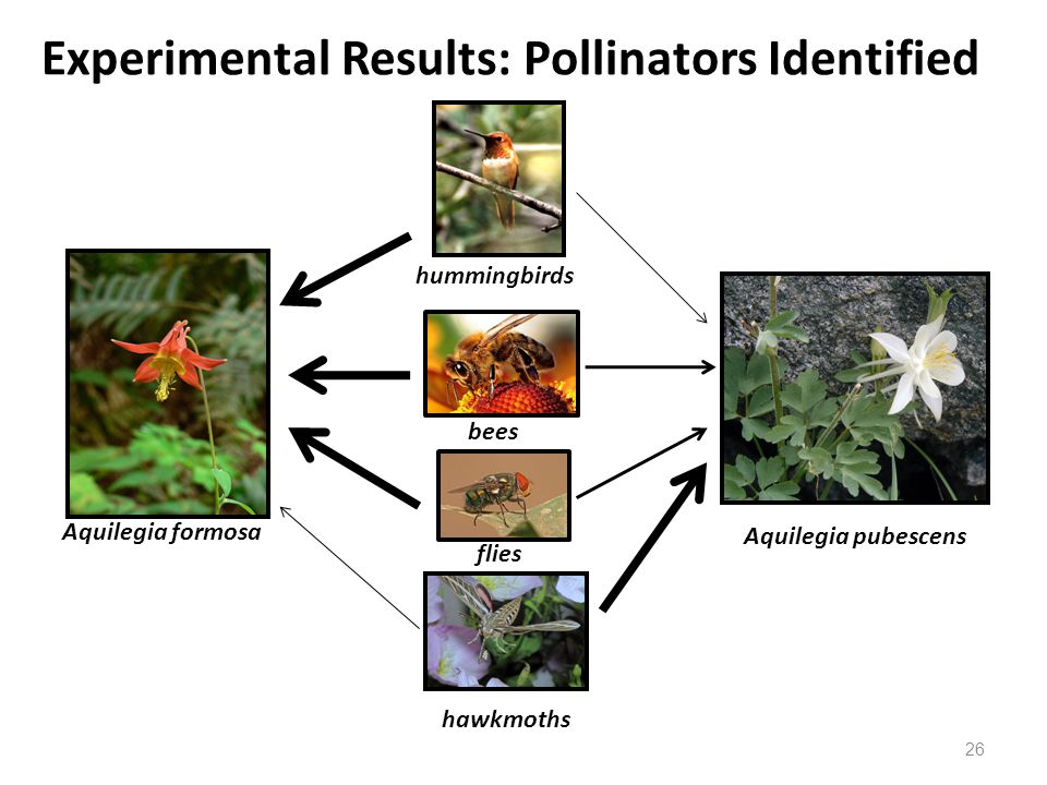Aquilegia formosa Aquilegia pubescens hummingbirds hawkmoths Experimental Results: Pollinators Identified flies bees 26