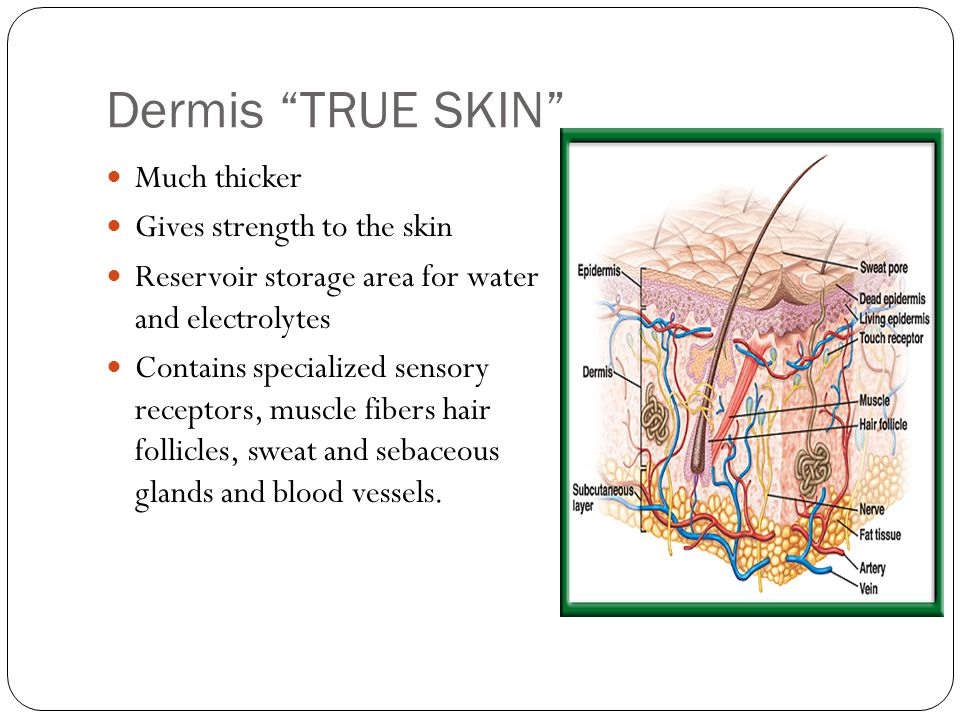 Dermis TRUE SKIN Much thicker Gives strength to the skin Reservoir storage area for water and electrolytes Contains specialized sensory receptors, muscle fibers hair follicles, sweat and sebaceous glands and blood vessels.