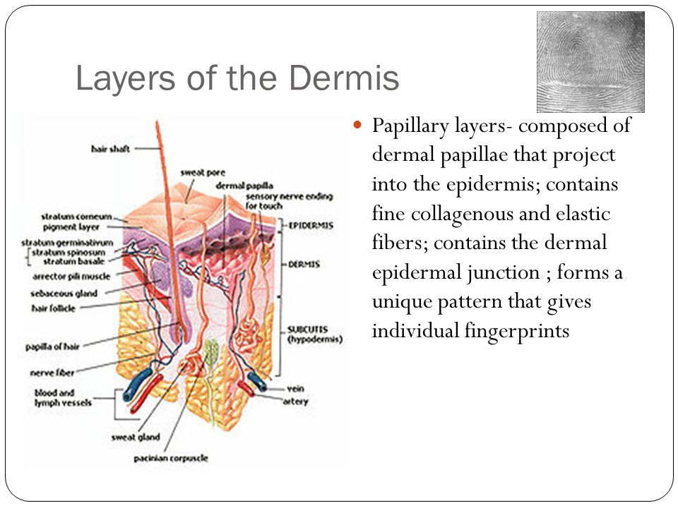 Layers of the Dermis Papillary layers- composed of dermal papillae that project into the epidermis; contains fine collagenous and elastic fibers; contains the dermal epidermal junction ; forms a unique pattern that gives individual fingerprints