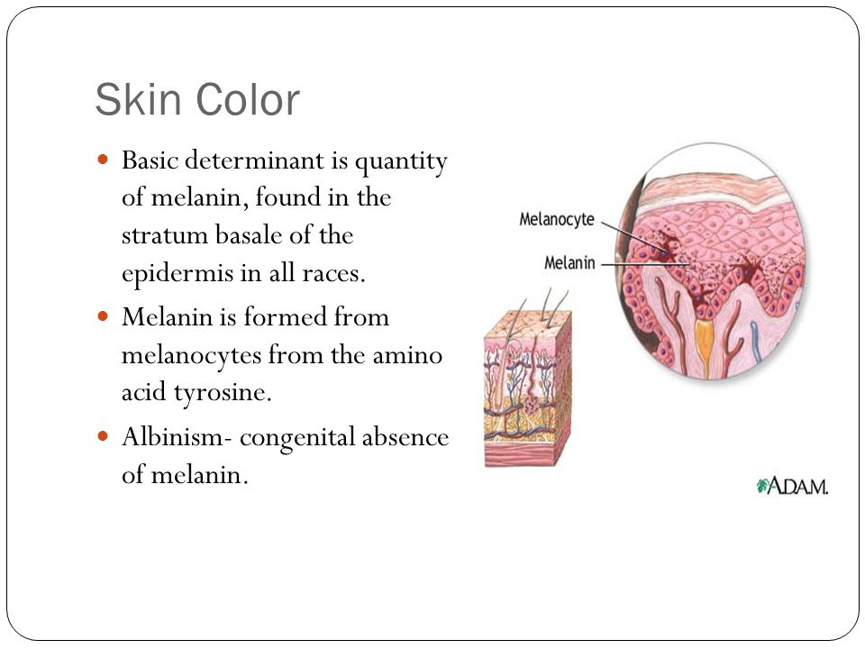 Skin Color Basic determinant is quantity of melanin, found in the stratum basale of the epidermis in all races.
