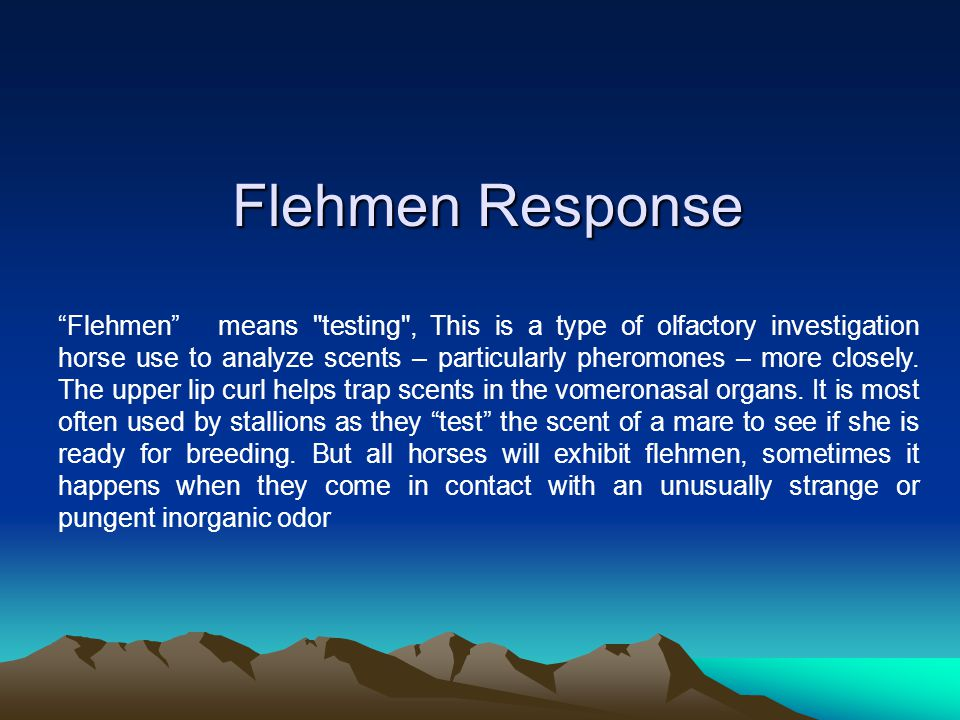 Flehmen Response Flehmen means testing , This is a type of olfactory investigation horse use to analyze scents – particularly pheromones – more closely.