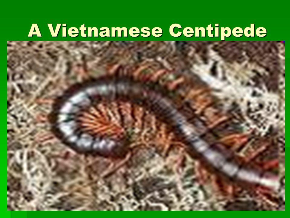 A Vietnamese Centipede