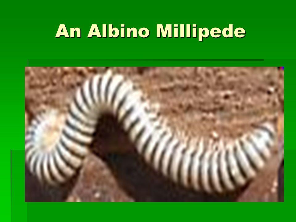 An Albino Millipede