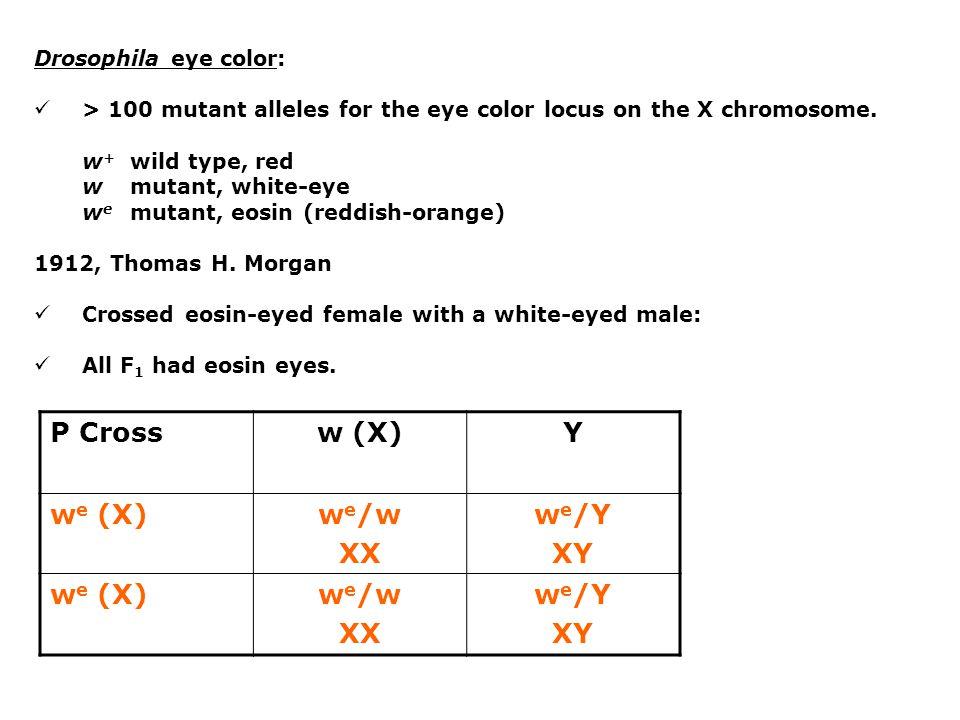Drosophila eye color: Alfred H.