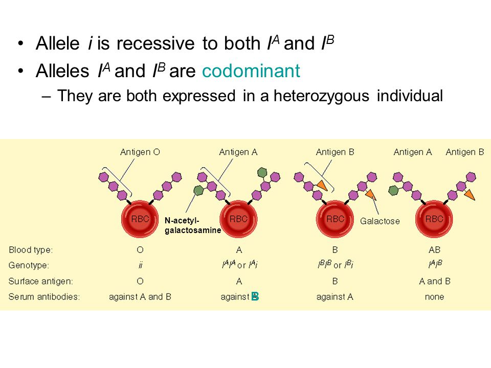 Allele i is recessive to both I A and I B Alleles I A and I B are codominant –They are both expressed in a heterozygous individual B N-acetyl- galactosamine