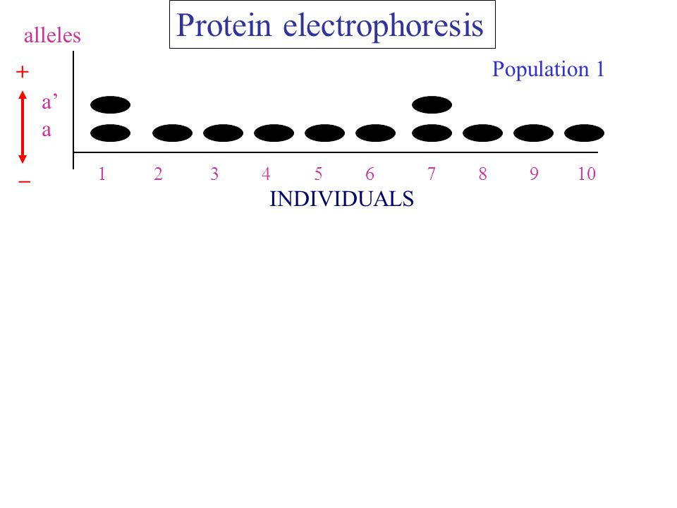Population 1 a' a alleles 1 2 3 4 5 6 7 8 9 10 Protein electrophoresis INDIVIDUALS + _