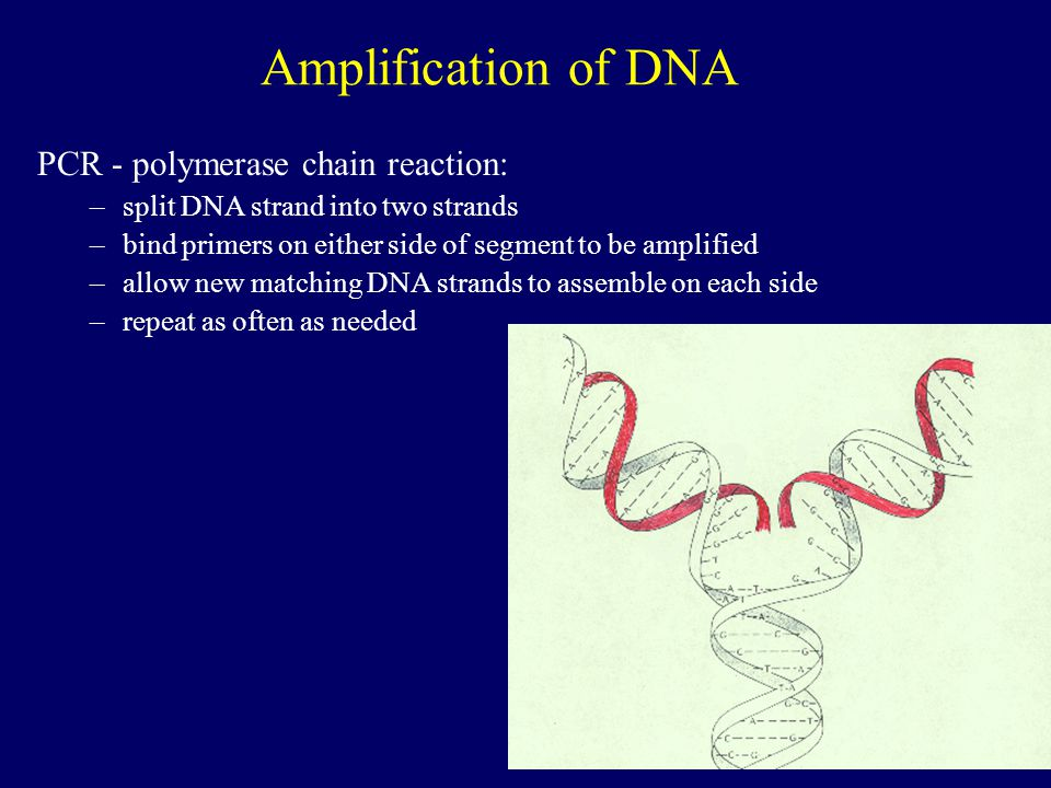 Amplification of DNA PCR - polymerase chain reaction: –split DNA strand into two strands –bind primers on either side of segment to be amplified –allow new matching DNA strands to assemble on each side –repeat as often as needed