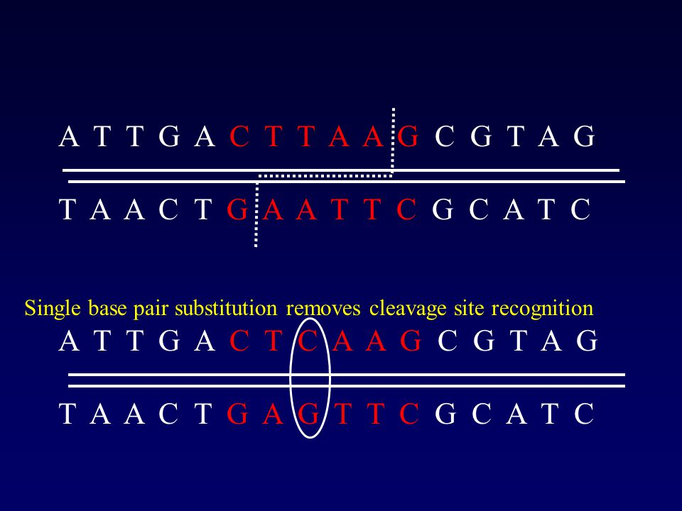 A T T G A C T T A A G C G T A G T A A C T G A A T T C G C A T C A T T G A C T C A A G C G T A G T A A C T G A G T T C G C A T C Single base pair substitution removes cleavage site recognition