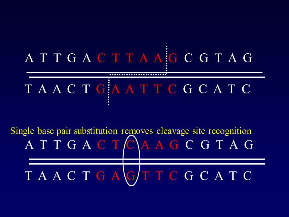 Microsatellite DNA tandem repeats of short DNA sequences (e.g.