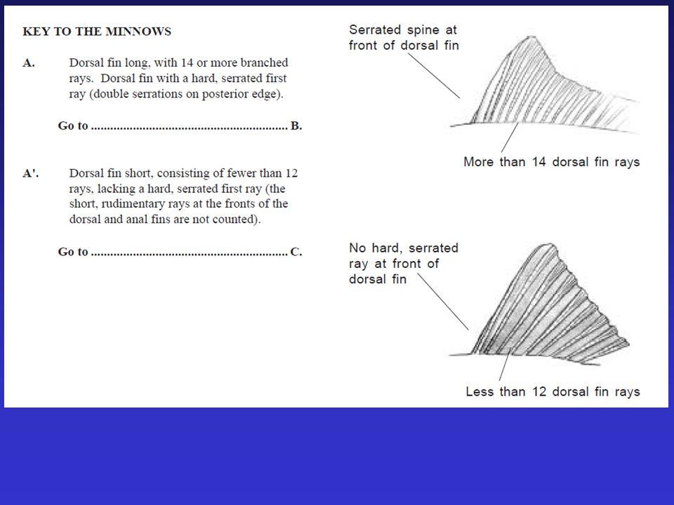 Morphometrics (measurements) 6-7 pelvic fin rays meristics (counts)