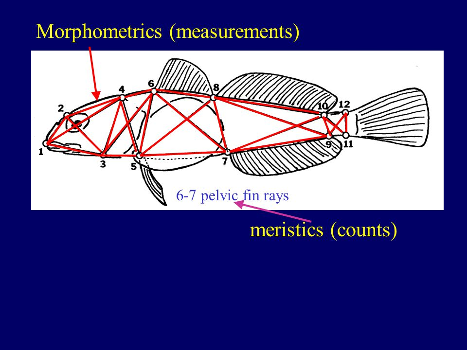 Morphometrics (measurements) 6-7 pelvic fin rays meristics (counts)