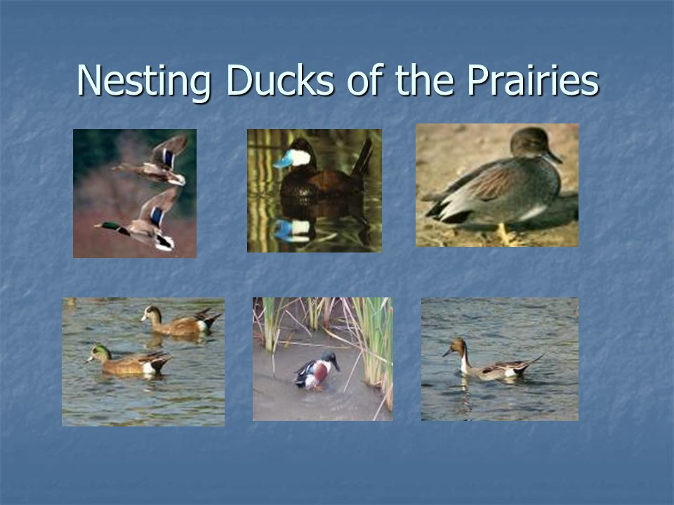 Nesting Ducks of the Prairies