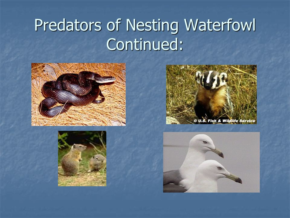 Predators of Nesting Waterfowl Continued: