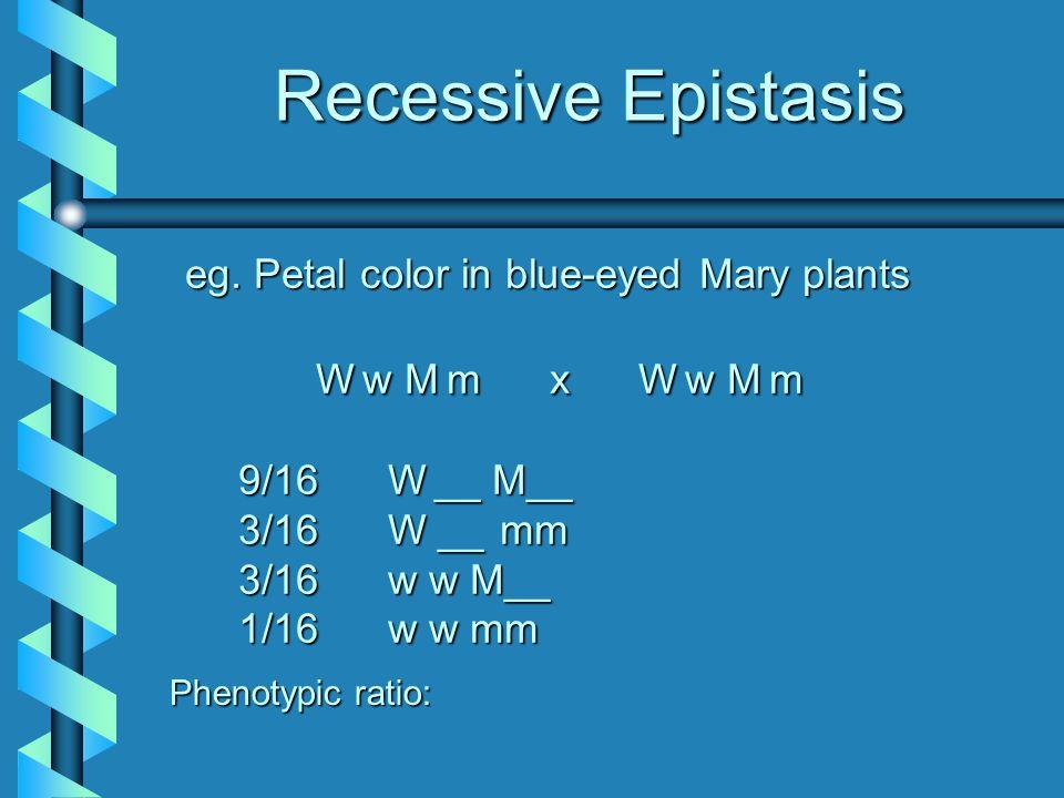 Recessive Epistasis eg. Petal color in blue-eyed Mary plants Ww Mm x Ww Mm 9/16 W__ M__ 3/16 W __ __ mm 3/16 w w M__ 1/16 w w mm Phenotypic ratio: