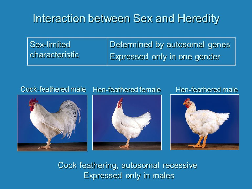 Interaction between Sex and Heredity Sex-limited characteristic Determined by autosomal genes Expressed only in one gender Cock feathering, autosomal