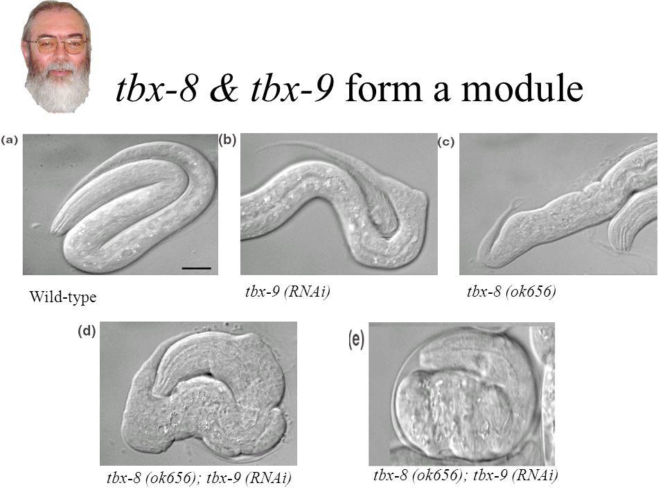 tbx-8 & tbx-9 form a module Wild-type tbx-9 (RNAi)tbx-8 (ok656) tbx-8 (ok656); tbx-9 (RNAi)