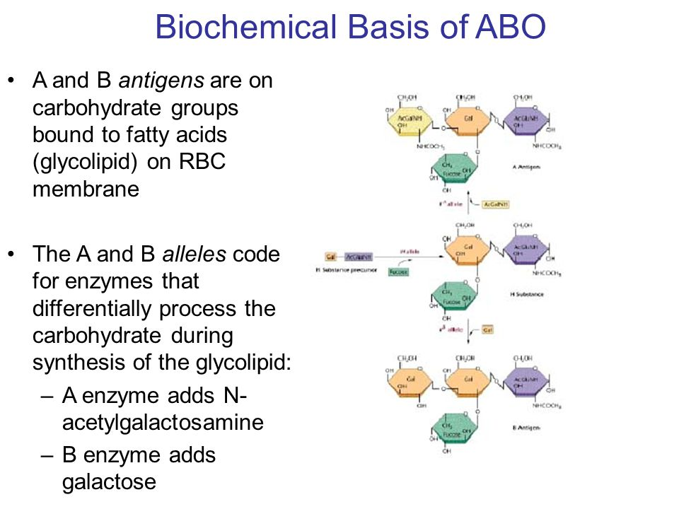 Biochemical Basis of ABO A and B antigens are on carbohydrate groups bound to fatty acids (glycolipid) on RBC membrane The A and B alleles code for en