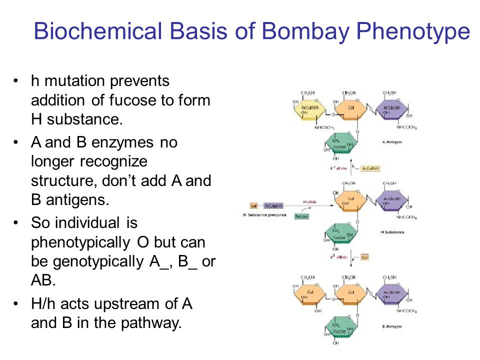 Biochemical Basis of Bombay Phenotype h mutation prevents addition of fucose to form H substance. A and B enzymes no longer recognize structure, don't