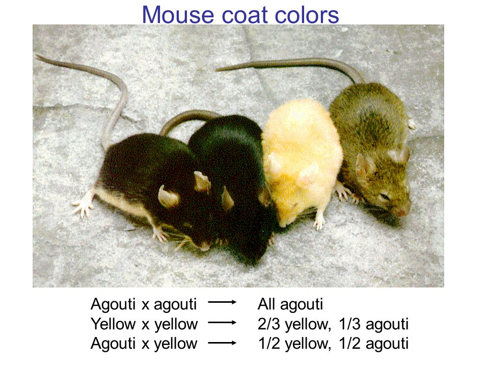 Mouse coat colors Agouti x agouti Yellow x yellow Agouti x yellow All agouti 2/3 yellow, 1/3 agouti 1/2 yellow, 1/2 agouti