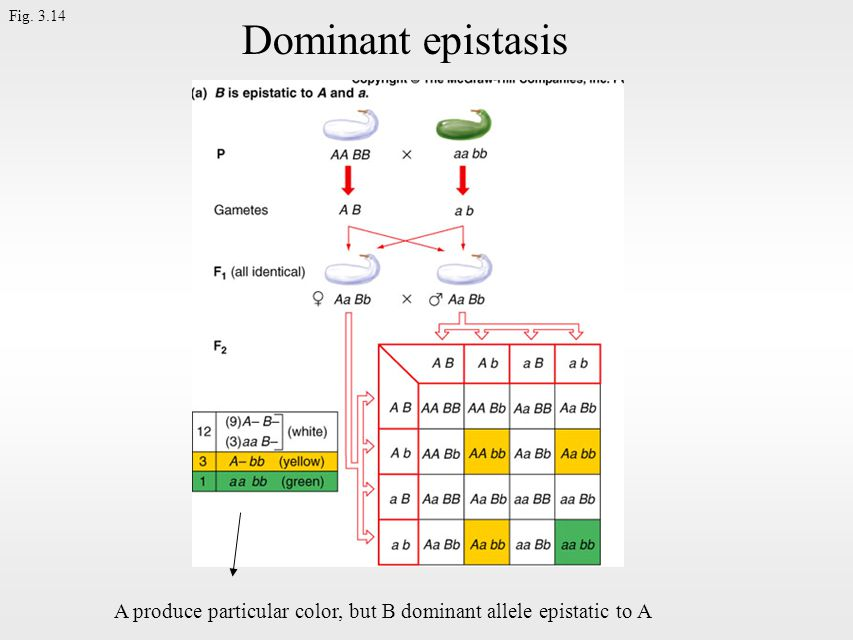 Fig. 3.14 Dominant epistasis A produce particular color, but B dominant allele epistatic to A