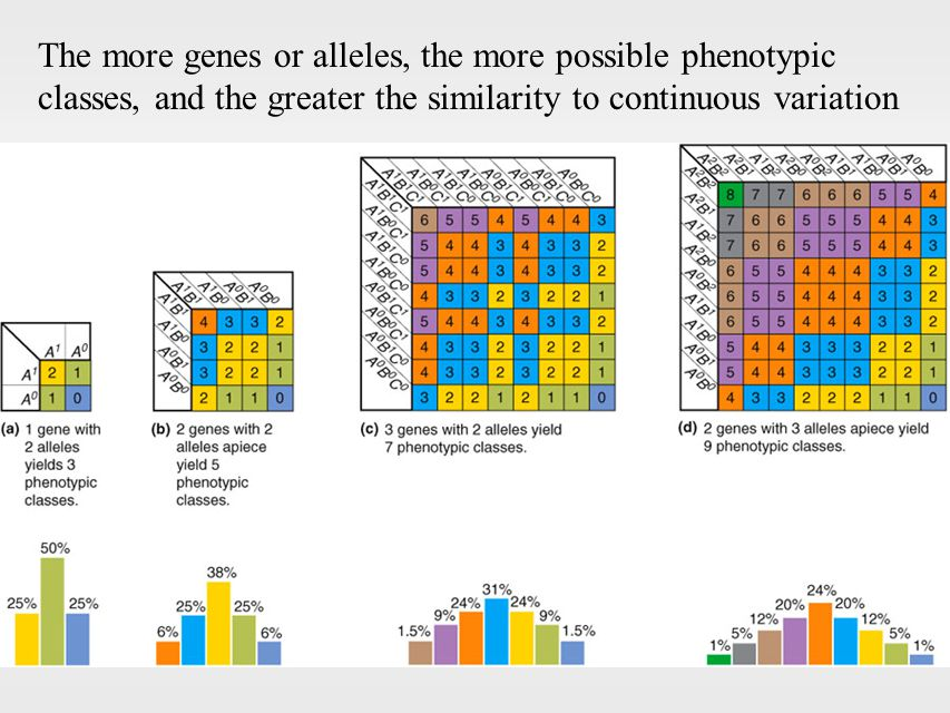 The more genes or alleles, the more possible phenotypic classes, and the greater the similarity to continuous variation