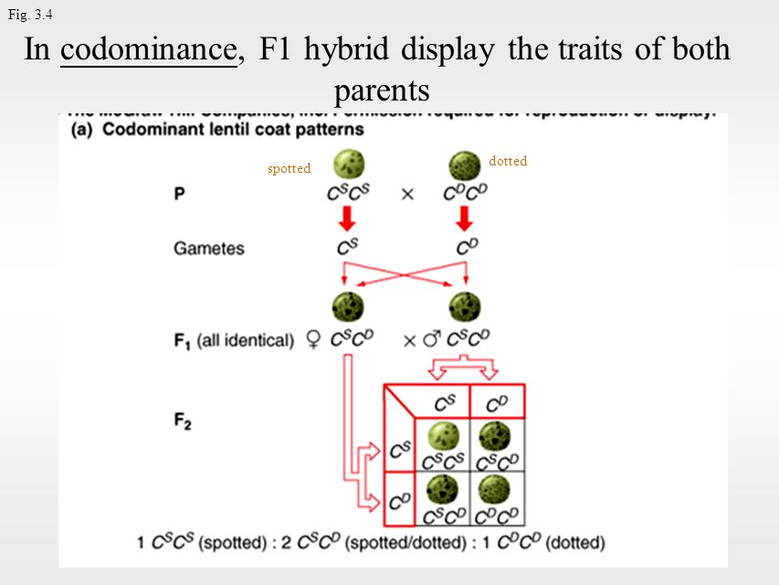 Fig. 3.4 In codominance, F1 hybrid display the traits of both parents spotted dotted