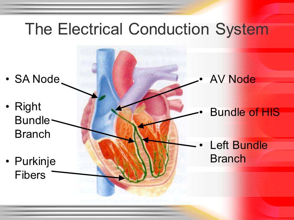 The Electrical Conduction System AV Node Bundle of HIS Left Bundle Branch SA Node Right Bundle Branch Purkinje Fibers