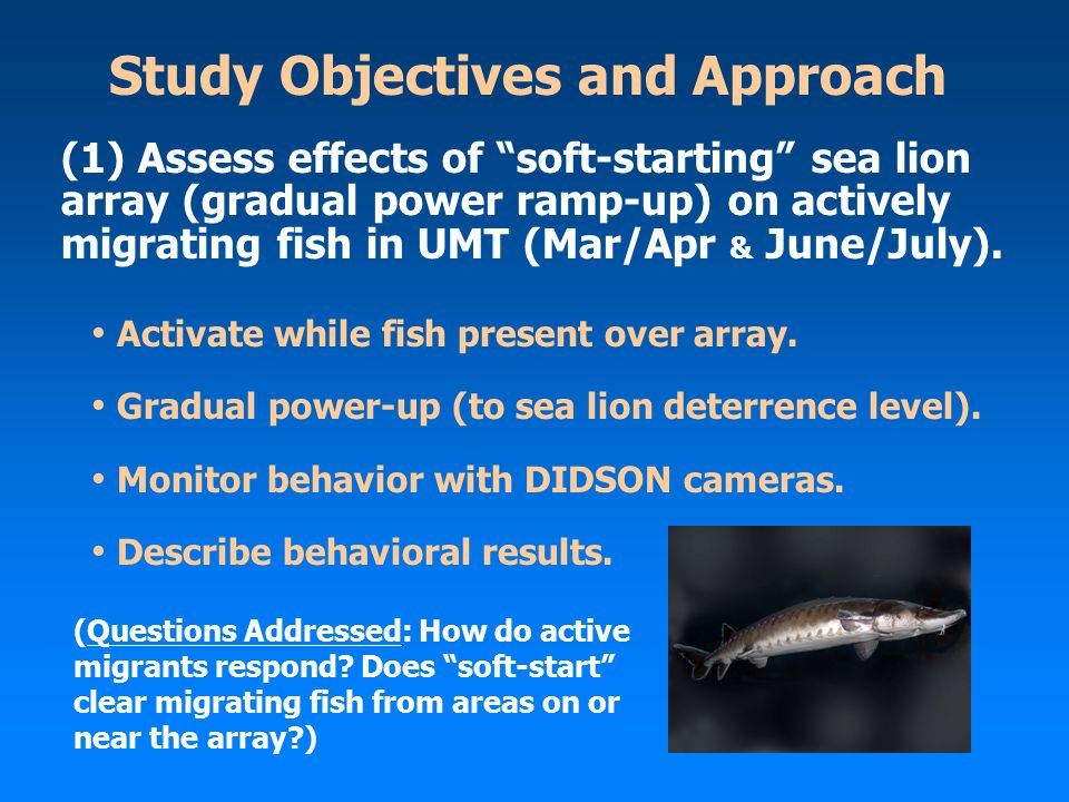 Study Objectives and Approach Activate while fish present over array. Gradual power-up (to sea lion deterrence level). Monitor behavior with DIDSON ca