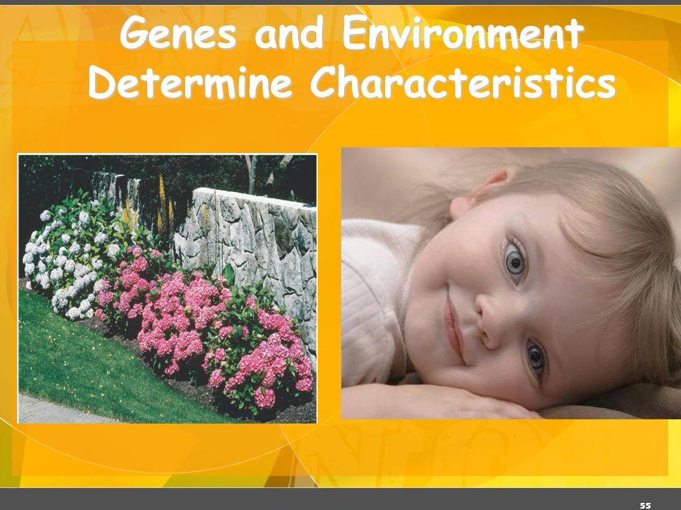 55 Genes and Environment Determine Characteristics