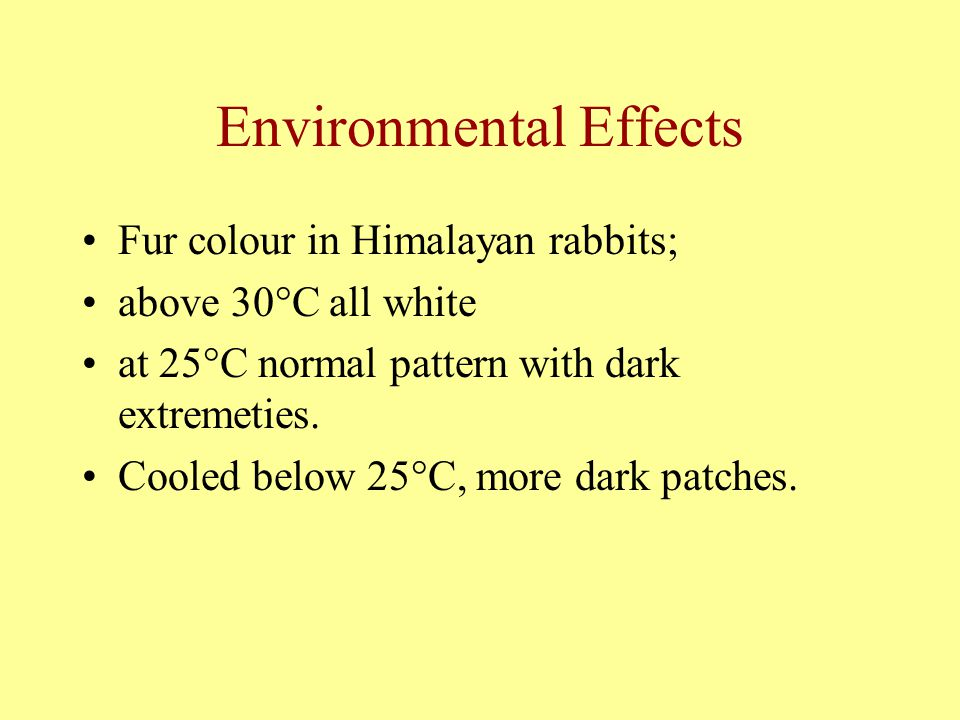 Environmental Effects Fur colour in Himalayan rabbits; above 30°C all white at 25°C normal pattern with dark extremeties. Cooled below 25°C, more dark