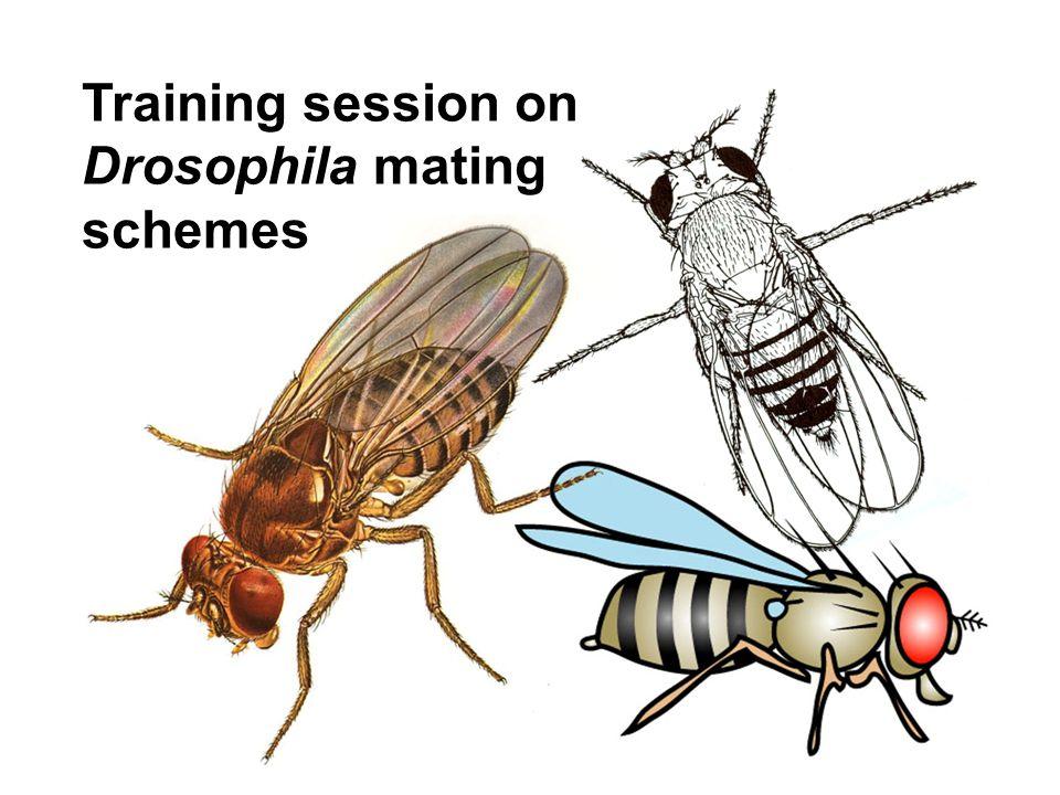 Training session on Drosophila mating schemes