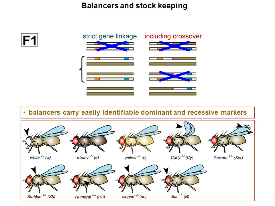 balancers carry easily identifiable dominant and recessive markers