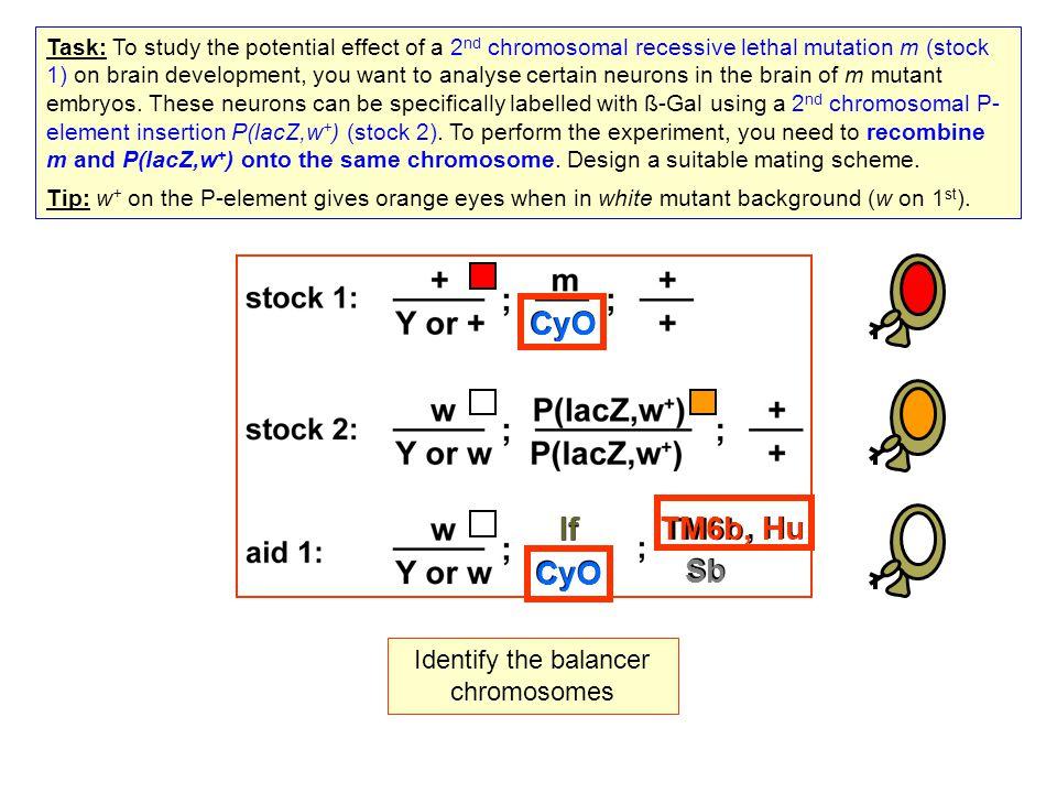 Identify the balancer chromosomes, Hu CyO If TM6b, Hu Sb Task: To study the potential effect of a 2 nd chromosomal recessive lethal mutation m (stock