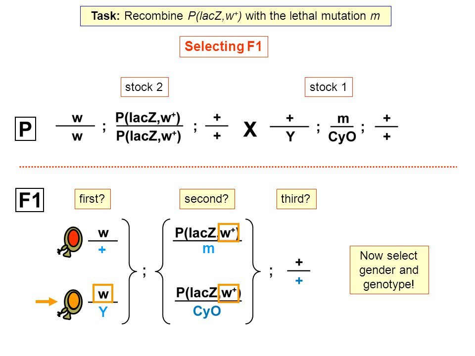 Now select gender and genotype! stock 1stock 2 Selecting F1 Y + ; second? ; third? m first? Task: Recombine P(lacZ,w + ) with the lethal mutation m