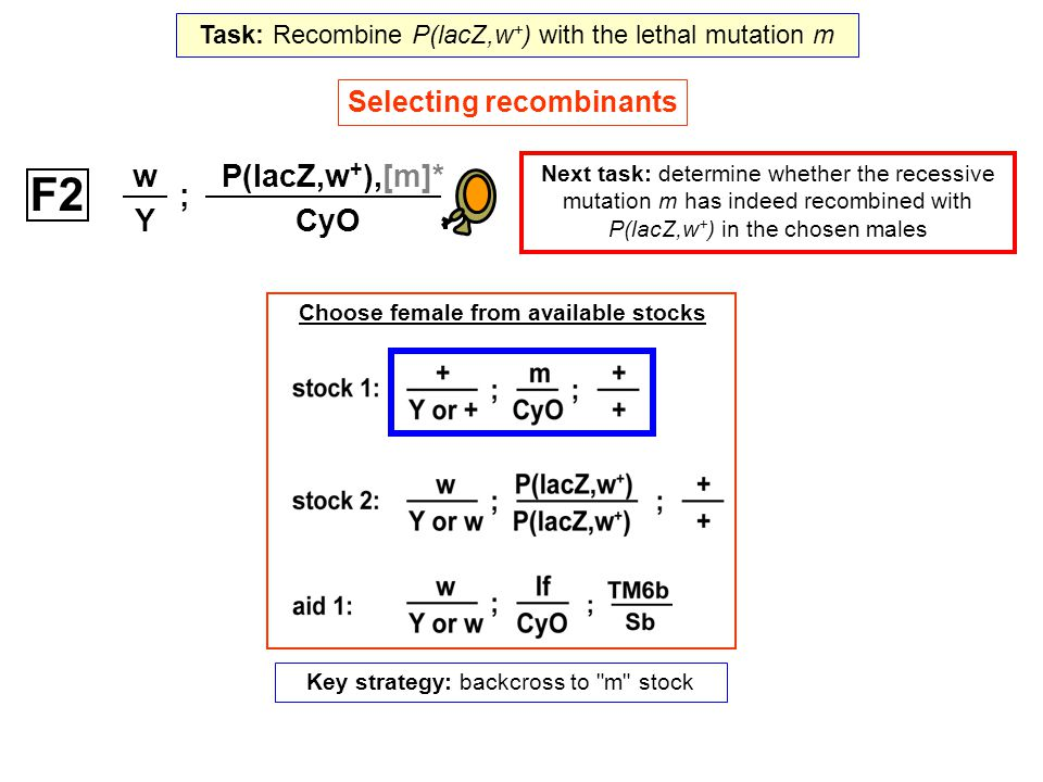 Selecting recombinants Next task: determine whether the recessive mutation m has indeed recombined with P(lacZ,w + ) in the chosen males ; w Y P(lacZ,