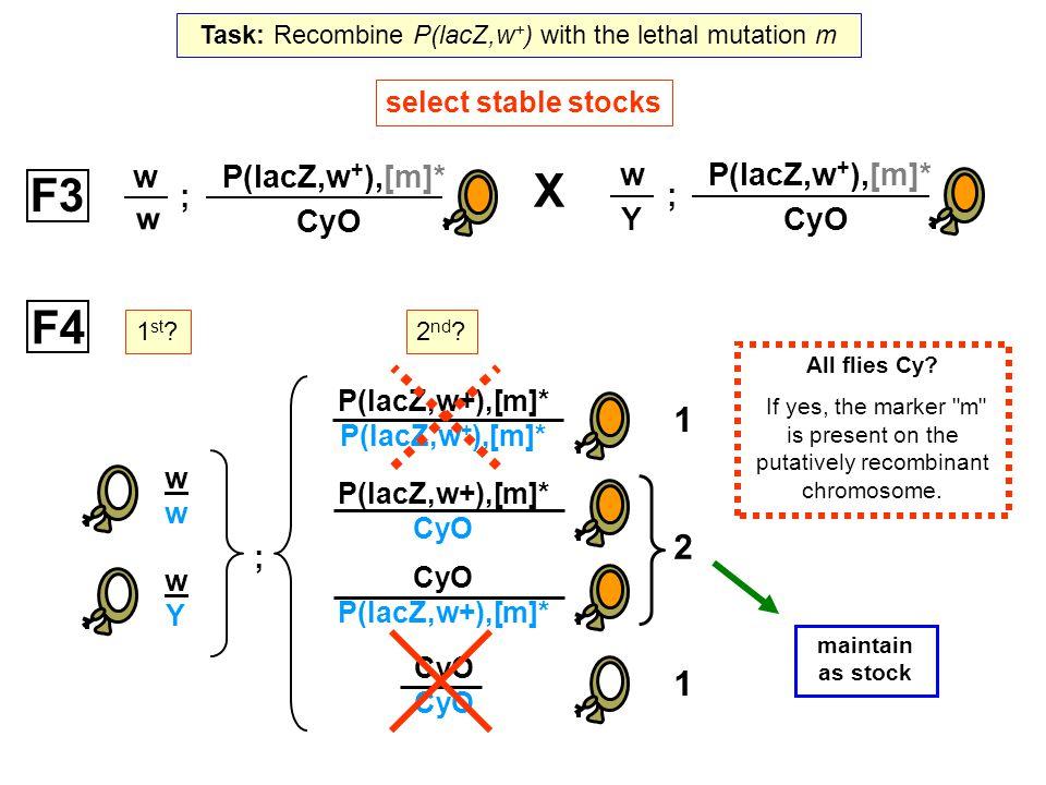 ; w Y P(lacZ,w + ),[m]* CyO F3 select stable stocks ; w Y P(lacZ,w + ),[m]* CyO wwww wYwY F4 1 st ? ; 2 nd ? P(lacZ,w+),[m]* CyO P(lacZ,w+),[m]* CyO P