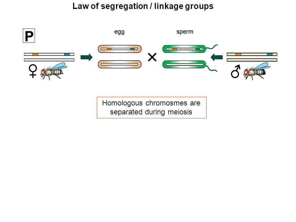 Law of segregation / linkage groups each offspring receives one parental and one maternal chromosome loci on the same chromsome are passed on jointly (linkage) 1 2 1