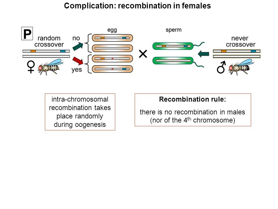 intra-chromosomal recombination takes place randomly during oogenesis Recombination rule: there is no recombination in males (nor of the 4 th chromoso