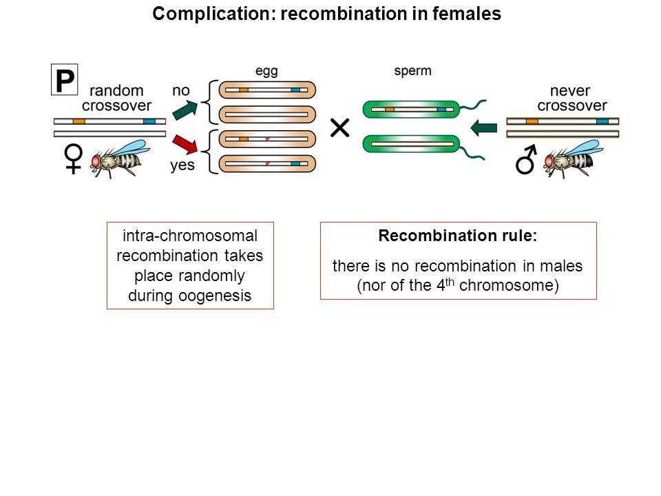7 instead of 3 different genotypes wildtype heterozygous homozygous mutant Complication: recombination in females