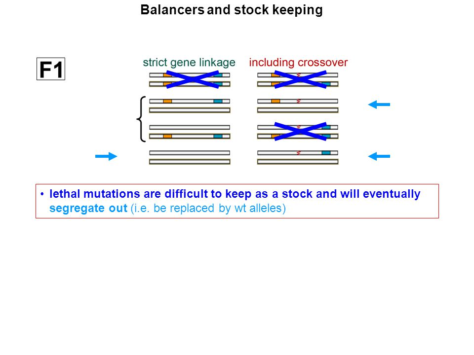 """If the mutant alleles (blue and orange) were both lethal in homozygosis, which of these genotypes would fail to survive?"""" Balancers and stock keeping"""