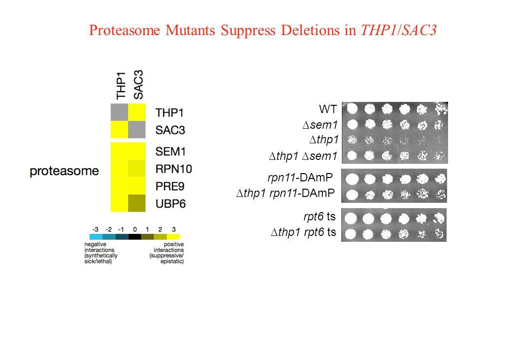 Proteasome Mutants Suppress Deletions in THP1/SAC3 WT ∆thp1 ∆thp1 ∆sem1 ∆sem1 rpn11-DAmP ∆thp1 rpn11-DAmP ∆thp1 rpt6 ts rpt6 ts