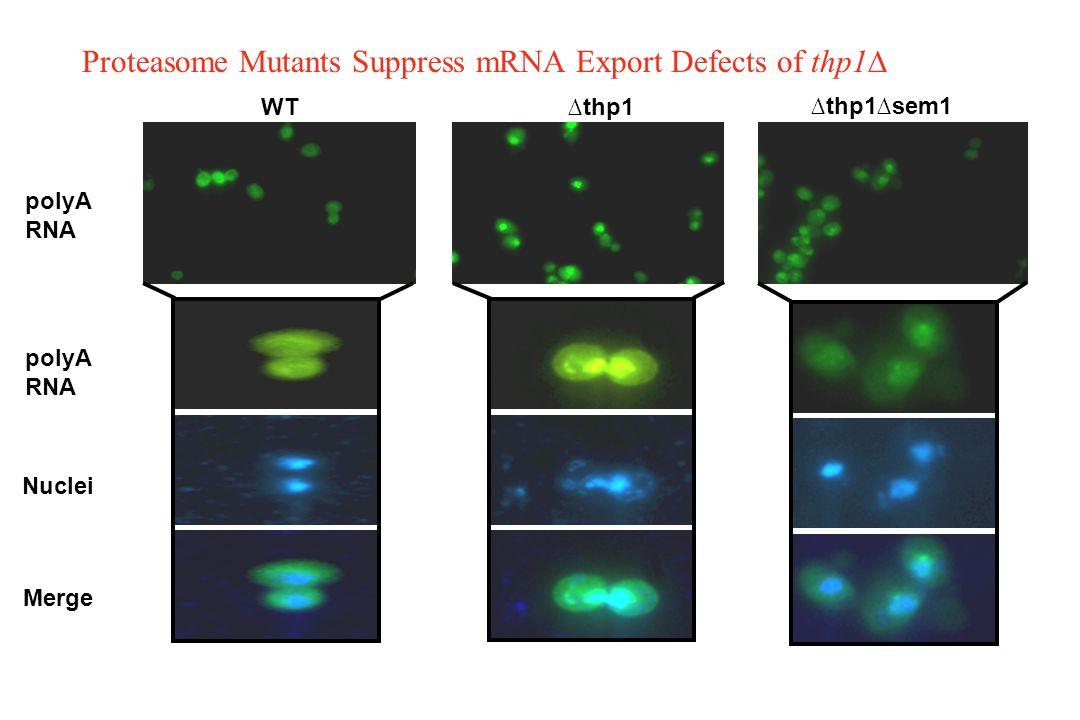 Proteasome Mutants Suppress mRNA Export Defects of thp1∆ polyA RNA Nuclei Merge WT∆thp1 ∆thp1∆sem1 polyA RNA