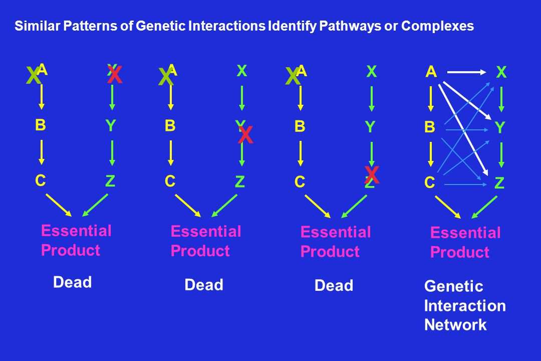 Scenarios That May Give Rise to Synthetic Interaction Interpretation depends on context Each synthetic interaction must be interpreted on a case-by-case basis (Guarente (1993) TIG, 9:362) or A B regulates AB AB etc.